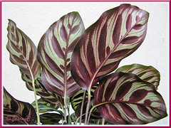 Maroon-coloured leaf undersides of Calathea makoyana (Peacock Plant, Cathedral Windows)