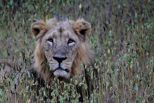 Low 2009-11-29 Sasan Gir - 01 Safari 29