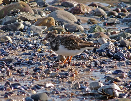 11776 - Turnstone at Mumbles, Gower