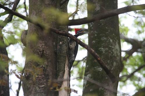 animals birds Picapau Picidae