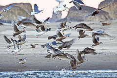Early Morning Gulls (Gary Grossman) Tags: ocean morning winter beach nature water birds rock oregon coast sand natural pacific northwest wildlife gulls earlymorning pacificocean shore pacificnorthwest coastline ecola canonbeach rockformations
