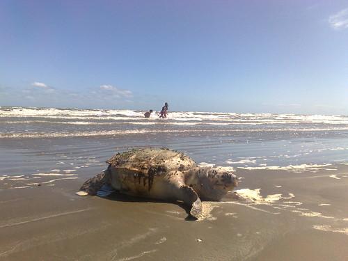 Mais uma tartaruga é encontrada morta no Cassino. Crédito: Guilherme Mazui