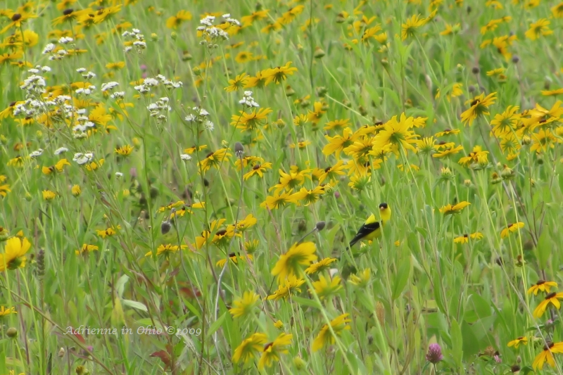 goldfinch hiding in the wildflowers - photo by Adrienne in Ohio