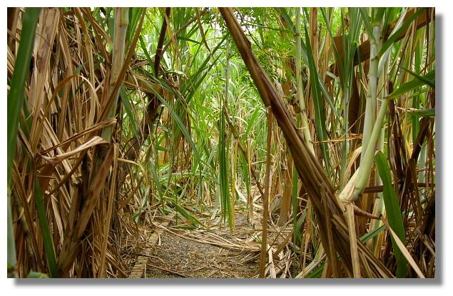 製糖用的甘蔗園