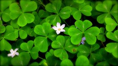 Lush Green Clover at the Heritage Grove Redwood Preserve in La Honda, California (SCVHA) Tags: california commemorative lahonda heritagegrove redwoodpreserve