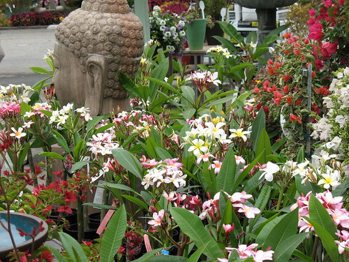 plumeria plants in bloom