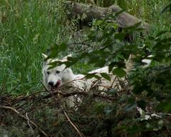 Ready For Food (cj berry) Tags: dog canada calgary zoo wolf canine alberta hunter graywolf calgaryzoo carnivore