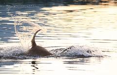 Dog having fun 5 (Galeon Fotografia) Tags: dog chien naturaleza lake co nature animal cane lago see meer natur lac hond perro hund aso tier basa sj mojado nass sj gl kpek lawa    vernik blt laku    kalikasan hayop mbwa durchnsst