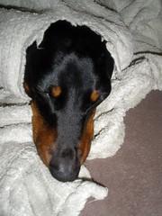 dog chien hound canine dachshund perro hund wienerdog dackel teckel k9 jimmydean doxie sausagedog aplaceforportraits pointyfaceddog