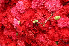 What's up, Bud-dy?! :-) (ManishJaju) Tags: flowers red india love flora blossom bloom bud canoneos flowermarket newdelhi redflowers velvety redandgreen closeupphotography bunchofflowers vibrantcolors flowerpic sigma18200mm flowerphotography flowershot vibrantred lotsofred canon450d delhiflowermarket canonxsi redthecoloroflove newdelhiflowermarket manishjaju manishjajugmailcom