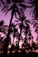 Sunrise Palms (ScooteRoo) Tags: trees orange sun up silhouette sunrise palms dawn purple desert grandmother palmtrees rows hero repetition winner tropical below soe pyp bigmomma challengeyou challengeyouwinner 3waychallenge mywinners abigfave diamondclassphotographer flickrdiamond thechallengefactory fotocompetition fotocompetitionbronze herowinner ultraherowinner