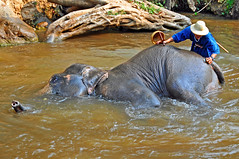 Thailand-4146 - Maesa Elephant Camp (archer10 (Dennis) (52M Views)) Tags: thailand d300 nikon archer10 dennis tourist city sites chiangmai people north elephant camp maesa valley mahout dennisgjarvis dennisjarvis worldtravels travel tour trip asia globus free iamcanadian