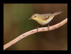 willow warbler   (mohammad khorshid (boali)) Tags: birds yellow canon lens willow 600 kuwait 4l osk warbler q8  kwt       40d   ef600
