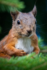 Squirrel In Summer (Harri_1970) Tags: summer wallpaper brown sunlight colour cute green eye nature animal closeup forest finland pose fu