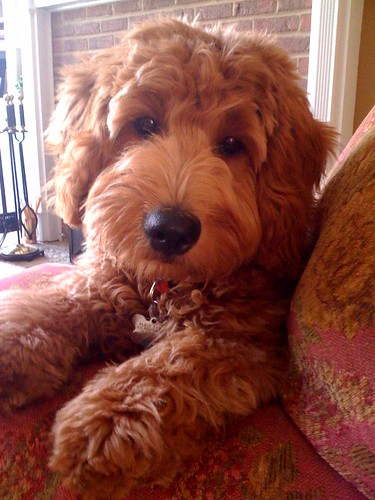 goldendoodle mini puppies. mini goldendoodle puppies,