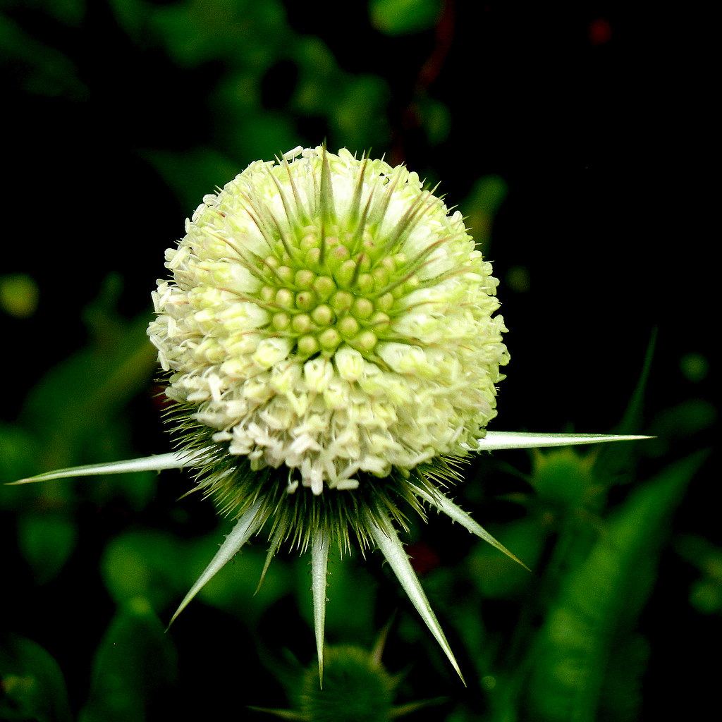 2009 - 08 - 02 - root of teasel weed helps fibromyalgia Lyme Disease & chronic fatigue syndrome