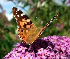 StSJFH 071a (Sheepdog Rex) Tags: butterfly butterflies paintedlady hortoncumstudley