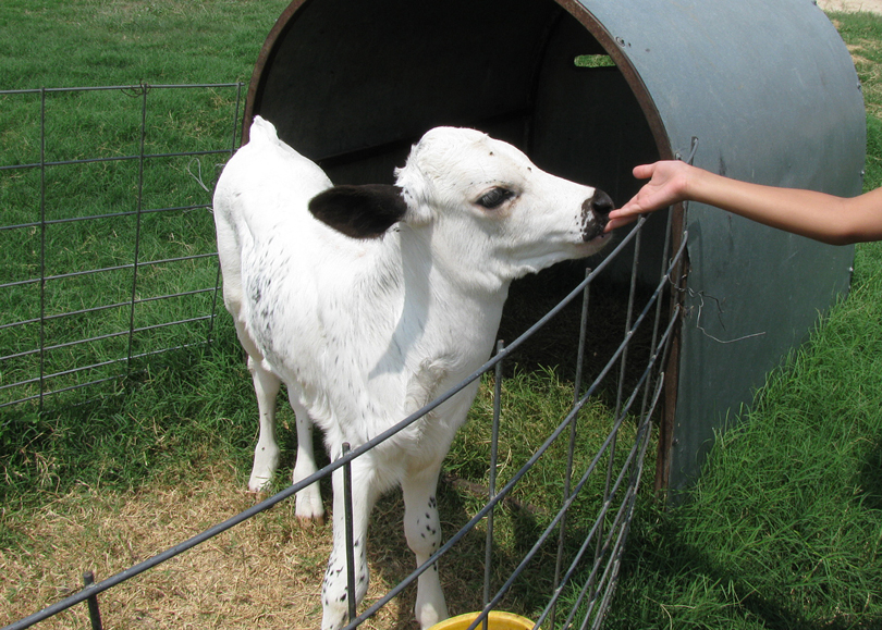 white-calf
