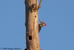 Pileated Woodpecker (Image Hunter 1) Tags: nature birds louisiana bayou swamp birdslouisiana bayoucourtableau