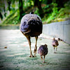 single mother (ion-bogdan dumitrescu) Tags: family blue baby green mom babies indian mother peacock chick mum single malaysia chicks kualalumpur common peafowl peahen pavo klbirdpark phasianidae bitzi summer09 mg9912 ibdp findgetty ibdpro wwwibdpro ionbogdandumitrescuphotography safo2012