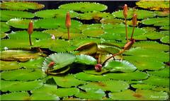 Beauty Unfolding (Nancie (Ladyexpat)) Tags: sea thailand asia lily kohchang lilypond naturesfinest stumbled nanciemckinnon ladyexpat kcgrande beautyunfolding
