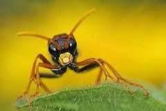 Tenthredo campestris (henk.wallays) Tags: wasp campestris hymenoptera wesp sawflies sawfly guepe symphyta tenthredo amazingwildlifephotography