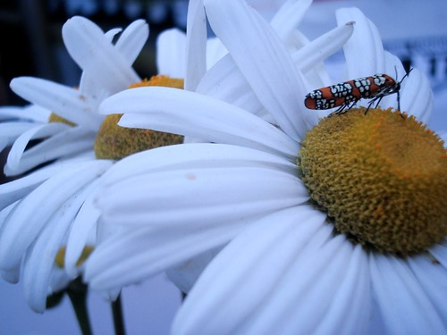 orange bug on a white daisy