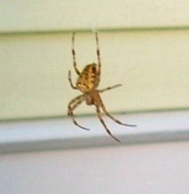 Neighborhood Spider