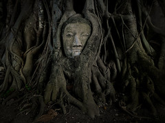 Indiana Jones and the mysterious head. . . (Bn) Tags: history topf50 unesco treetrunk mysterious siam topf100 14thcentury topf200 figtree indianajones motherearth entwined ayutthaya topf400 amazingthailand hugetree watmahathat 100faves 50faves 200faves powerofnature ficusreligiosa vijgenboom 400faves ayutthayahistoricalpark thesecretlifeoftrees seeitinlarge totallythailand saariysqualitypictures visipix buddhaheadinthetree 14thcenturyad formercapitalofthailand buddhastatueinfigtree symboliccenter ayutthayasmostfamousimage buddhainthetree buddhaheadentwinedbytherootsystemofafigtree theearlyayutthayaperiod themysterybuddhahead magicbuddha smelltheearth templeofthegreatrelics residenceofbuddhistmonks darkshadowsoftheoldfigtree historicalparkofayutthaya ramesuan