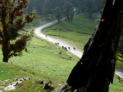 chopta cowdust (com4tablydumb) Tags: india tourism nature trek scenery wildlife hills uttaranchal himalayas monal northernindia uttarakhand tungnath chopta monalpheasant alpinehabitat