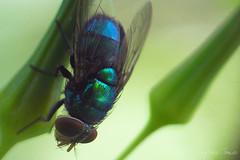Pintura metlica (Laylson) Tags: life macro verde nature colors azul interesting natureza explore joopessoa mosca interessante paraba varejeira explorar