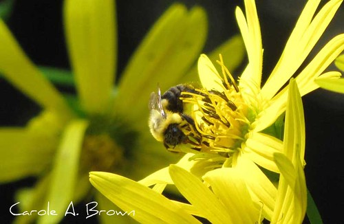 Bee-on-Cuplant
