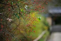 野茨(ノイバラ)   HBW! (myu-myu) Tags: autumn plant nature japan fruit nikon bokeh rosehip 浄瑠璃寺 rosamultiflora 58mmf14 anawesomeshot d700 ノイバラ voigtlandernokton58mmf14slii adriënnesmagicalmoments