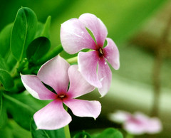 Good Morning (jas-B) Tags: morning pink flower macro green nature leaf nikon lilly boora roseus d40 jasbir catharanthus
