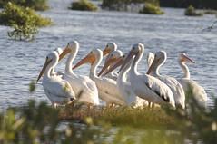 pelcano blanco americano, (Pelecanus erythrorhynchos) (Alejandro Gonzalez T) Tags: blanco yucatan progreso cienega pelicano pelecanus pelecanuserythrorhynchos avescosteras jorgealejandrogonzalezterrazas lagunascosterasyucatan nortedeyucatan nothernyucatan