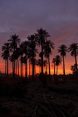 3 Alhsa Palms (Hassan almulla) Tags: camera blue sunset red mountain black wet nikon photographer superman palm oasis hasa