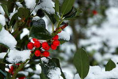 Happy holidays (Alice Schippers) Tags: winter fab snow christmascactus vondelpark kerst ilexaquifolium hulst