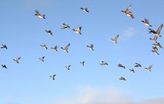 Wigeon in flight (Shandchem) Tags: bird river scotland duck flight wick caithness wigeon flickrdiamond