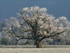 Tree with Frost (algo) Tags: old blue winter england sky white snow black cold tree art nature beautiful beauty field grass weather dark season landscape photography grey frozen big interesting topf50 topv555 europe frost european searchthebest hoarfrost branches buckinghamshire gray panasonic heavy algo majestic topf100 snowscape naturesfinest flickrsbest infinestyle thesecretlifeoftrees