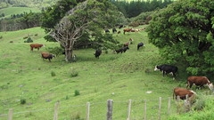 NZ Countryside with Cattle
