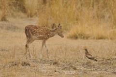 Chital and Eagle - Bandhavgarh, India (Ami 211) Tags: india eagle bandhavgarh chital cervus spotteddeer cervusaxis