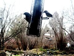 February birds (EcoSnake) Tags: redwingblackbirds birds february winter feeders idahofishandgame naturecenter