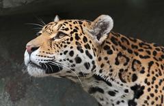 jaguar Rica Artis BB2A2259 (j.a.kok) Tags: jaguar pantheraonca southamerica zuidamerika rica kat cat mammal zoogdier predator artis