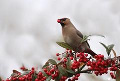 Waxwing feast (Trayc99) Tags: bird waxwing animal wildlife wildanimal wings beautiful berries red eating beak nature