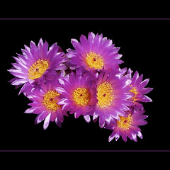 SILKY PURPLE SUNS (fabiogis50) Tags: flowers cactus flower macro closeup cacti searchthebest visualarts fiori legacy soe tistheseason manipulatedimages coth fantasticflower flowersarebeautiful excellentsflowers natureselegantshots novaphoto saariysqualitypictures thebestofmimamorsgroups themagicofsimplicity greatshotss freedomhawkaward photographersworldbestfriends anthologyofbeauty loveforthelife richardsfloraandfauna fleursetpaysages aboveandbeyondlevel4 aboveandbeyondlevel1 aboveandbeyondlevel2 aboveandbeyondlevel3 vigilantphotographersunite vpu2 vpu3 vpu4 vpu5 vpu6 vpu7 vpu8 vpu9