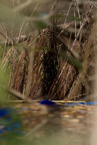 Satin Bowerbird bower