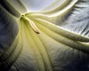 blossom inside(Brugmansia) (D.Reichardt) Tags: macro germany europe inside soe fa blosson engelstrompete stubben aplusphoto platinumheartaward stroblight redmatrix darwinseye