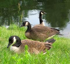Triple geese (langkawi) Tags: berlin birds langkawi brantacanadensis canadageese landwehrkanal kanadagänse naturesfinest