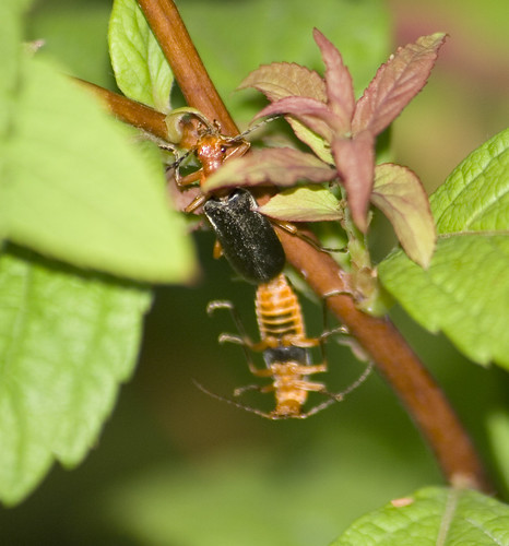 soldier beetle (3)