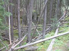 Fallen Trees, Johnston Canyon (Hendie Dijkman) Tags: canada rockies banff johnstoncanyon